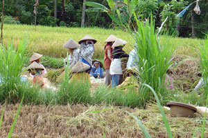 Rice harvesting in Bali