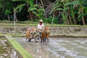 Bali farmer with oxen plowing a rice field